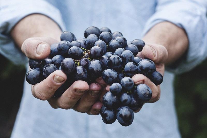 収穫したブドウ